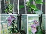 미금초 무궁화 꽃..
