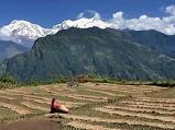 네팔의 추수