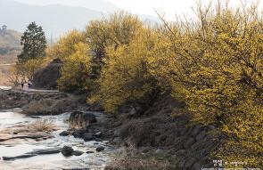 구례 반곡마을, 계곡도 돌담길도 온통 노란빛으로 물..
