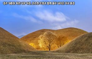 경주 대릉원 목련 나무 야경, 은은한 조명과 함께 봄..