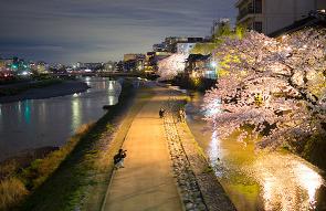 교토의 밤 벚꽃에 취하다. 교토 여행, 교토 벚꽃