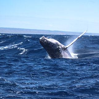 서호주 혹등고래