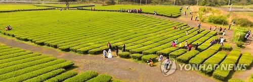 '제주 녹차밭에서 봄의 기운을' [연합뉴스 자료 사진]
