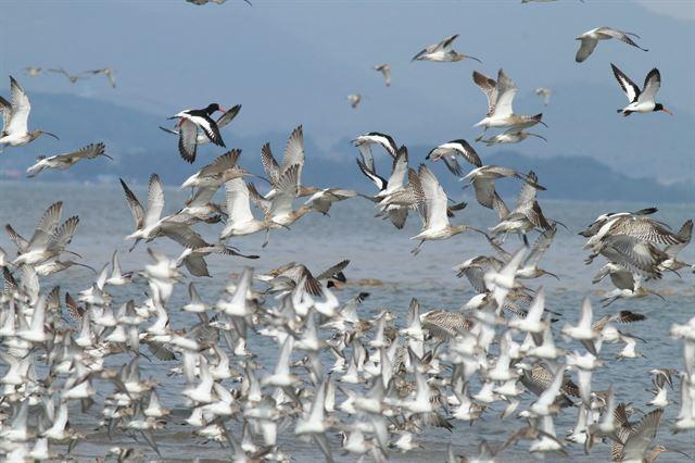 금강하구 유부도에 도래한 마도요와 검은머리물떼새가 비상하는 모습. 국립생태원 제공