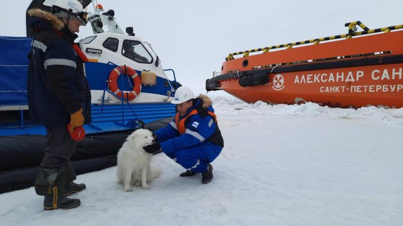 러시아 북극해마을의 반려견 사모예드 아이카 일주일만에 집으로 귀환