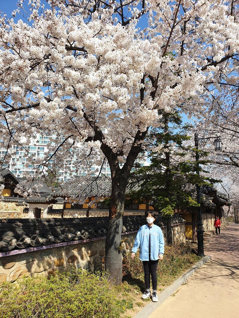 코로나 인천 벚꽃나들이 화도진공원