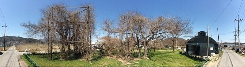 경주 오류리 등나무&먹거리