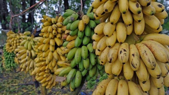 바나나 효능 부작용 정보 총정리