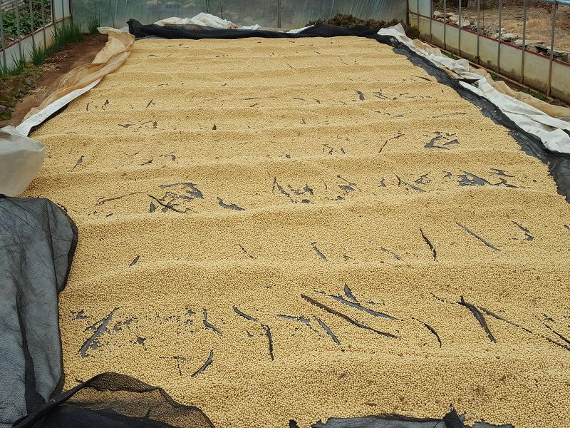 메주콩 수확