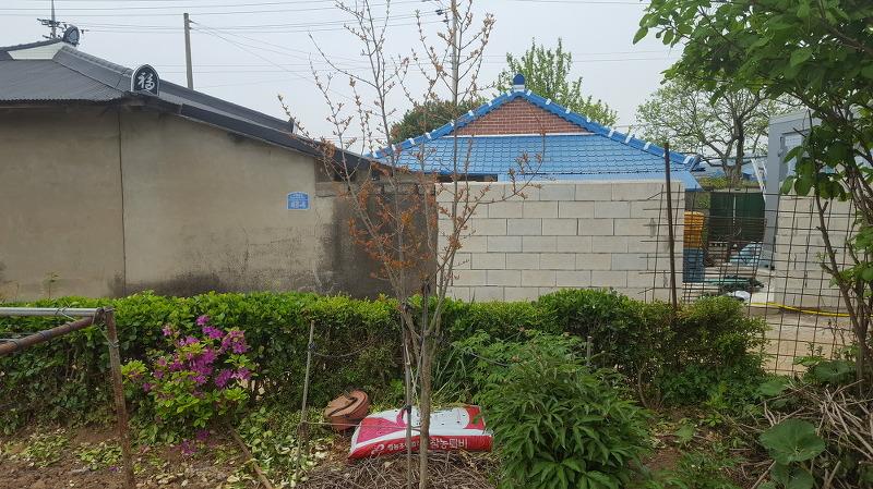 초보의 석류나무 수형잡기