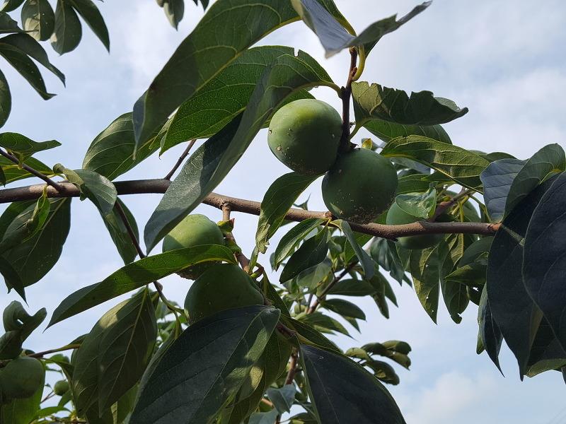 감나무 깍지벌레 발생