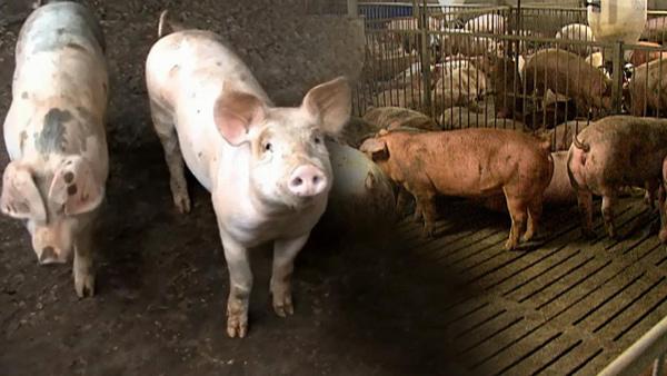 돼지열병 관련주 - 대장주 및 수혜주는 무엇?