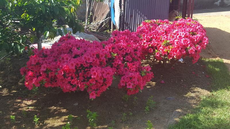 서양철쭉 꽃이 예쁘게 피었습니다.