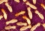 흰개미는 개미의 발소리도 듣는다