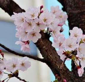 [포토친구] 벚꽃이 활짝~