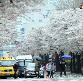 봄비와 벚꽃길