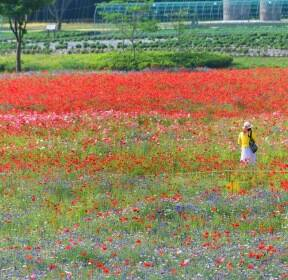 [포토친구] 꽃 물결 이룬 오월의 태화강변