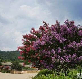 [포토친구] 배롱나무꽃 따라, 한개마을