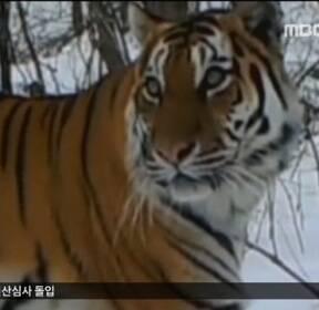 [글로벌 인사이드] 中 백두산 호랑이의 귀환