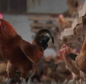 [단독] 계란에 이어 닭에서도 DDT 검출..불안감 확산