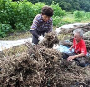 [카메라뉴스] 농촌 들녘 참깨 수확 한창