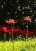 빛속 꽃무릇