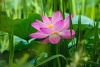 세미원 연꽃