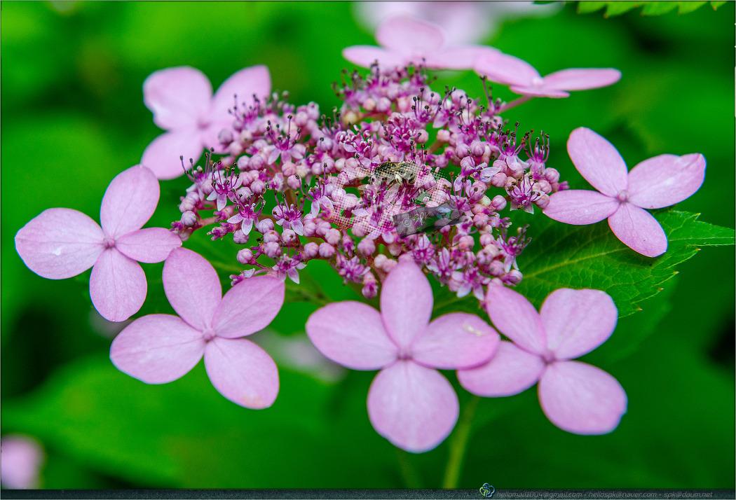 꽃 - 131 [산수국 (토상산)]