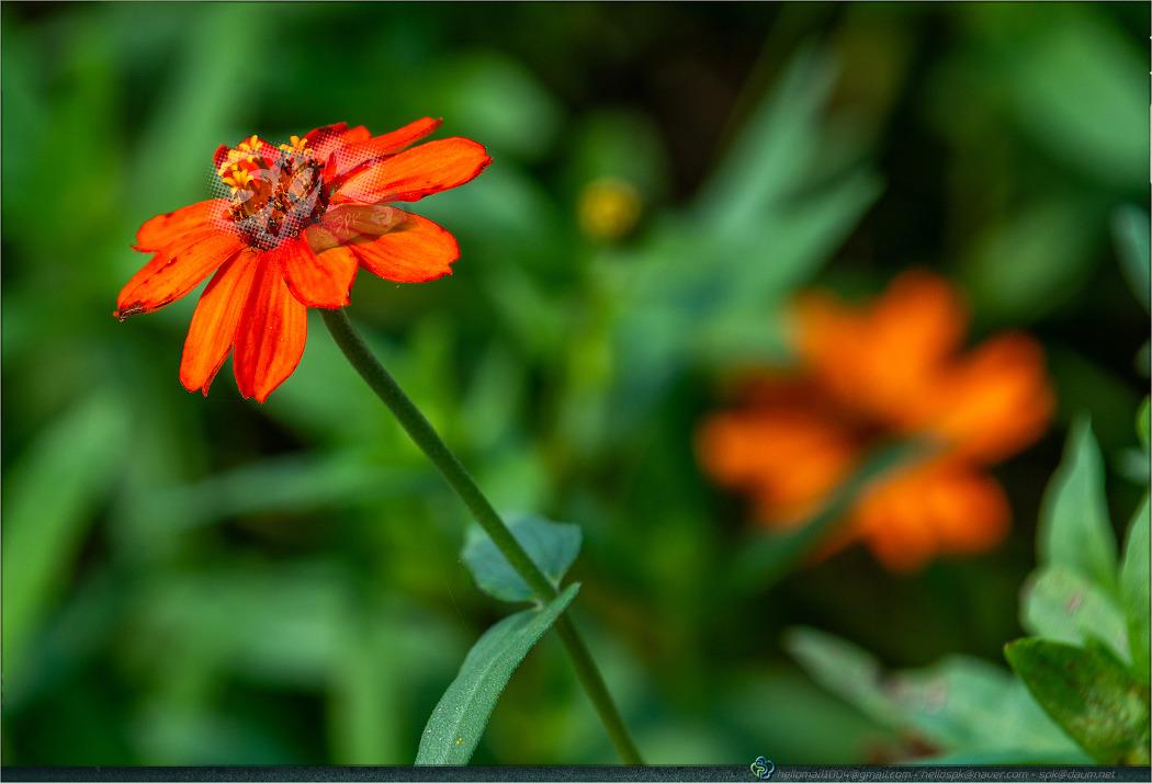 꽃 - 137 (천일홍, 꽃범의꼬리, 층꽃나무, 자라송이풀)
