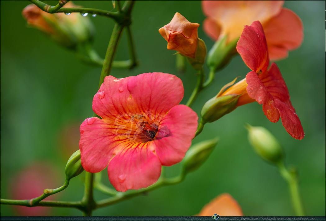 꽃 - 130 (큰금계국, 접시꽃, 원추천인국, 능소화)