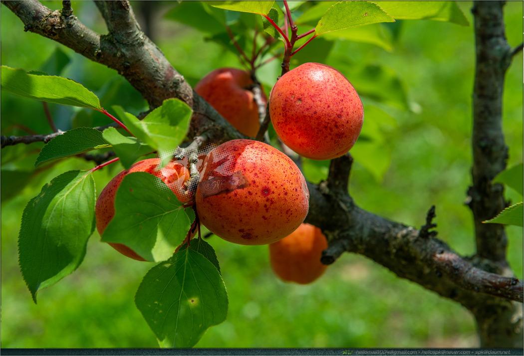 결실 - 36 (앵두, 사과, 자두, 살구, 호두)