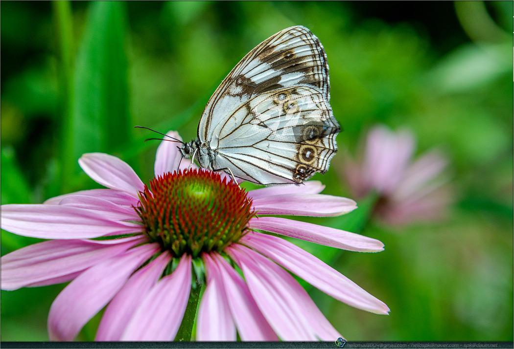 나비, 나방 - (매미나방, 줄점팔랑나비, 배추흰나비, 산제비나비, 긴꼬리제비나비, 조흰뱀눈나비)