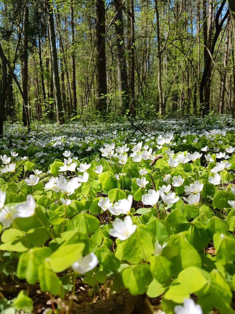 애기괭이밥이 초록 풀밭에 하얀색을 뿌려놓아