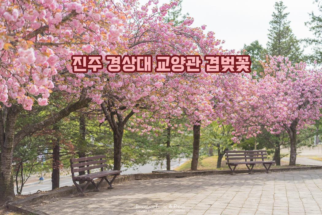 대학 캠퍼스에서 만난 겹벚꽃과 예쁜 봄, 진주 경상대 교양학관