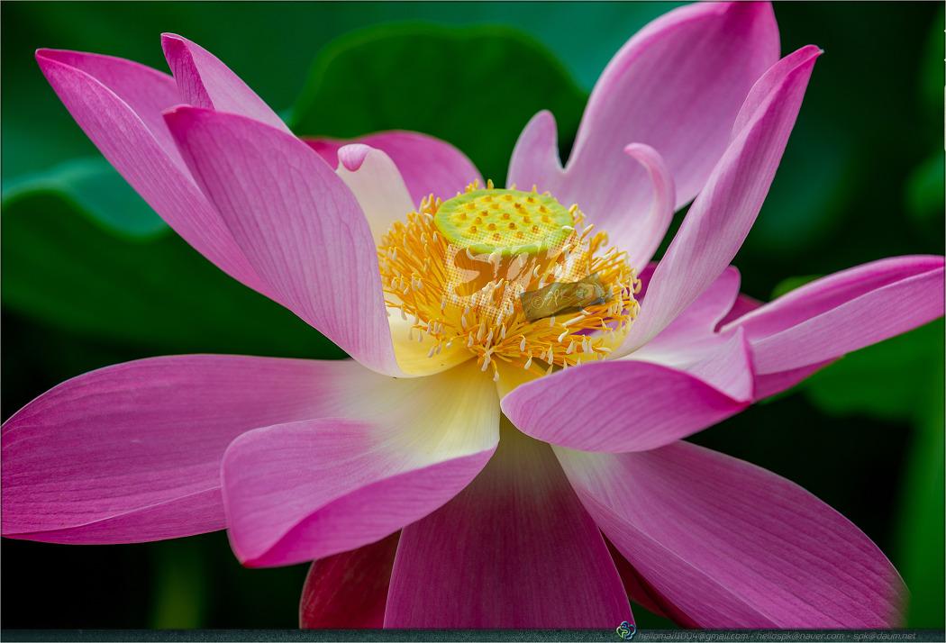 꽃 - 129 (연꽃, 홍련)