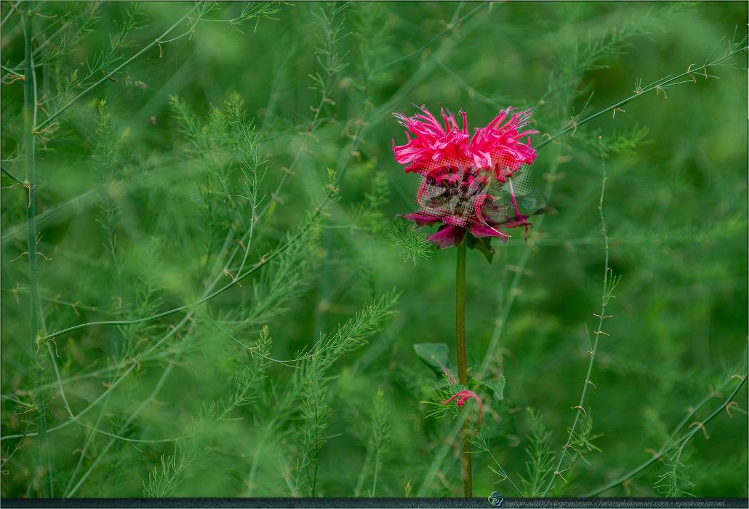 꽃 - 126 (베르가못, Bergamot, Bee balm)