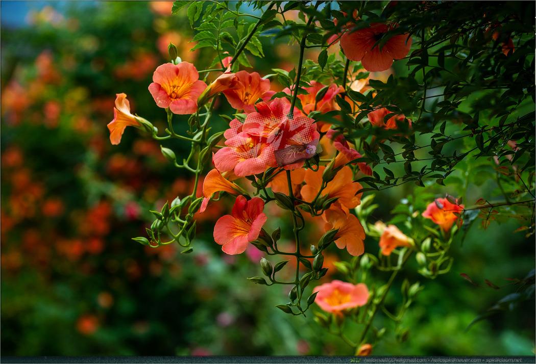 꽃 - 139 (만수국, 능소화, 샐비어)
