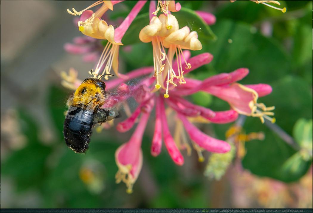 곤충 - 39 (호리꽃등에, 꿀벌, 호박벌, 어리호박벌)