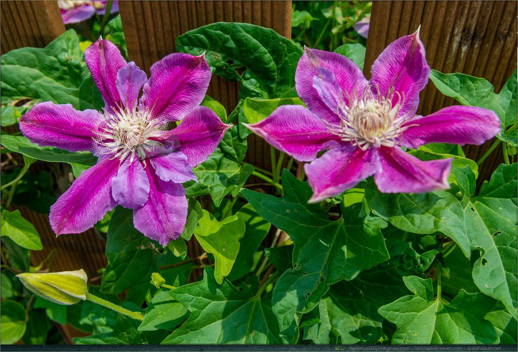 꽃 - 128 (겹물망초, 석잠풀, 버베나, 수레국화, 클레마티스)