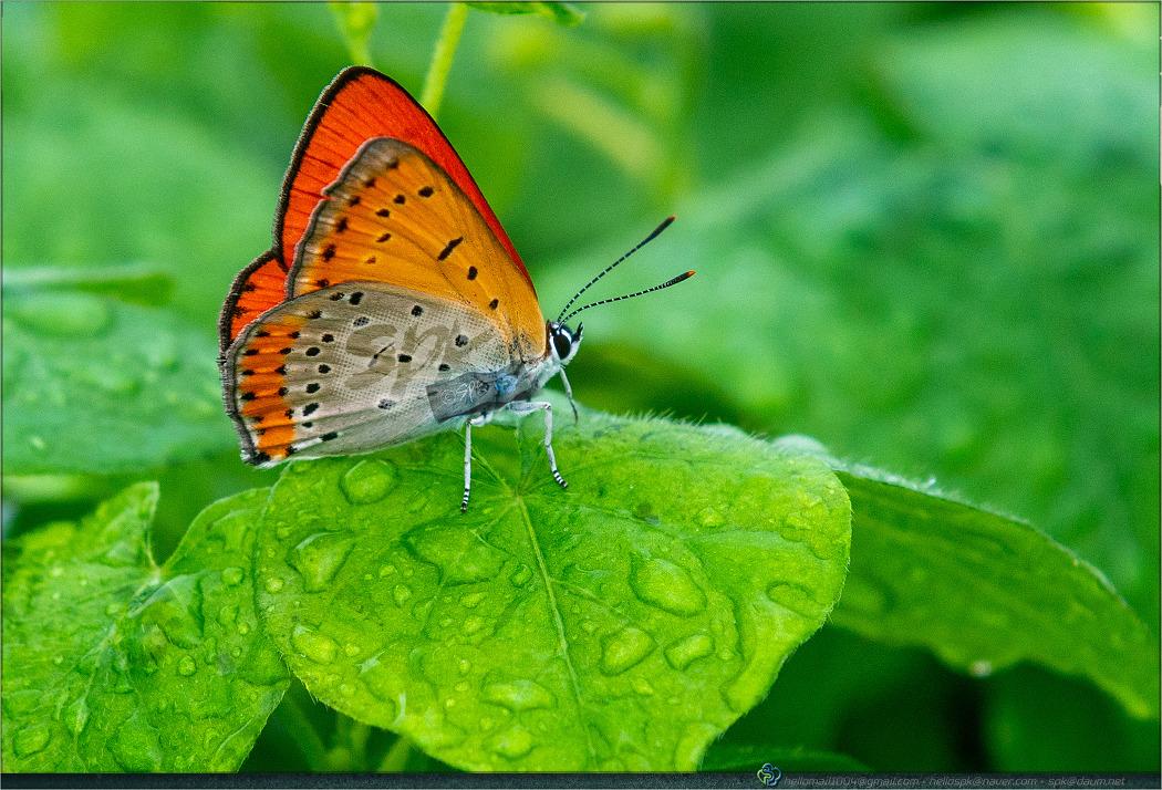 곤충 - 38 (큰주홍부전나비, 작은멋쟁이나비, 큰멋쟁이나비, 네발나비)