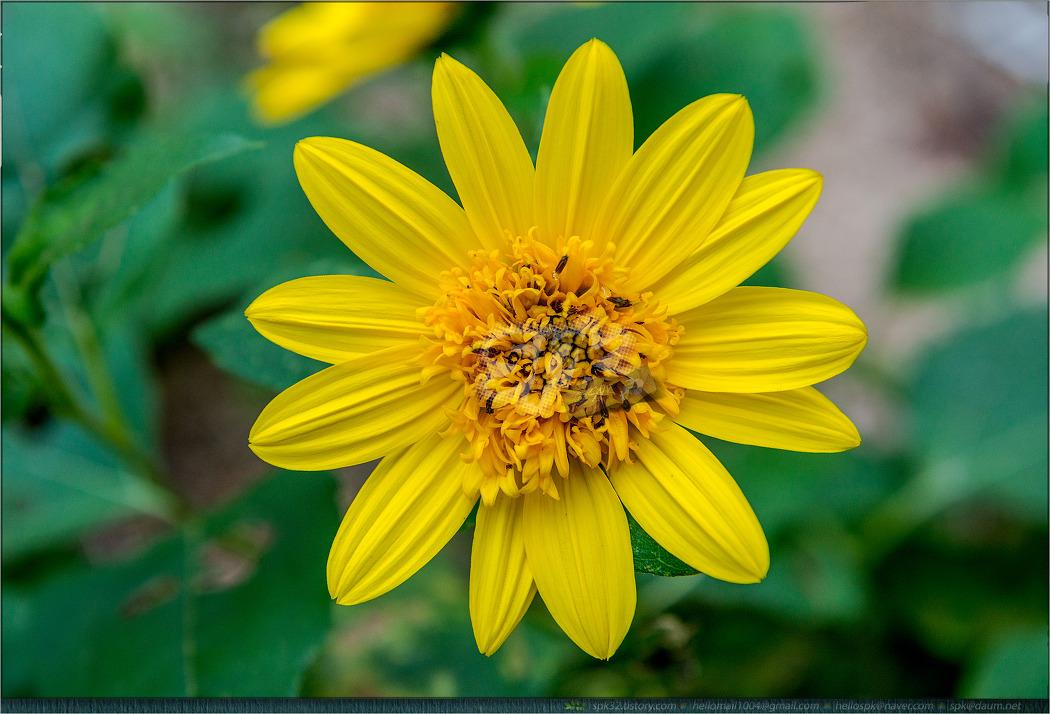 꽃 - 102 (천궁, 사피니아. 하늘바라기, 석산, 포인세티아, 연꽃..)