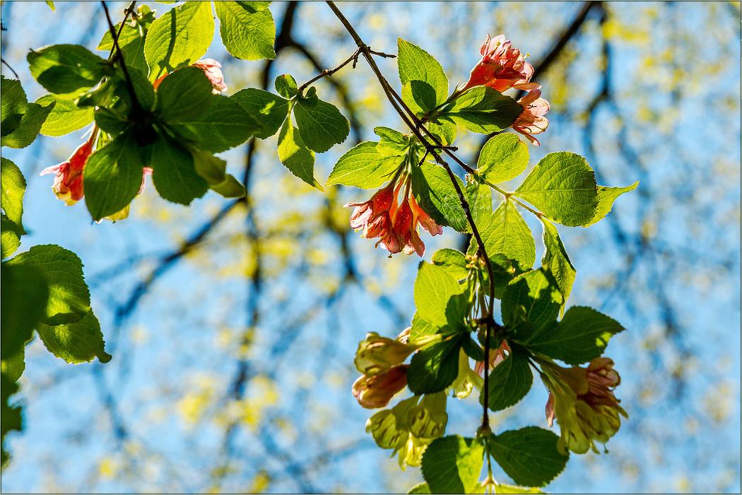 꽃 - 110 (병꽃나무)