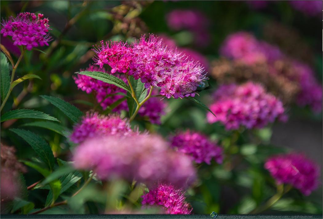 꽃 - 121 (무궁화, 붉은조팝나무, 블루세이지, 삼백초)
