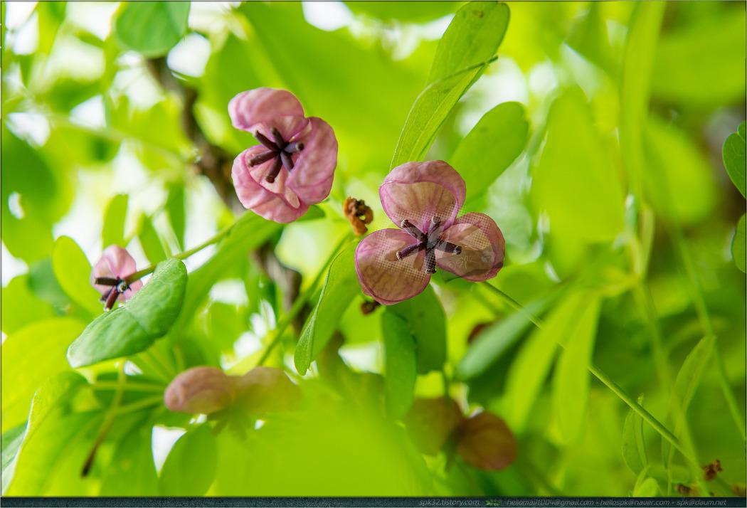 꽃 - 122 (으름덩굴, 작은꽃으아리, 큰꽃으아리, 니겔라, 벌깨덩굴)