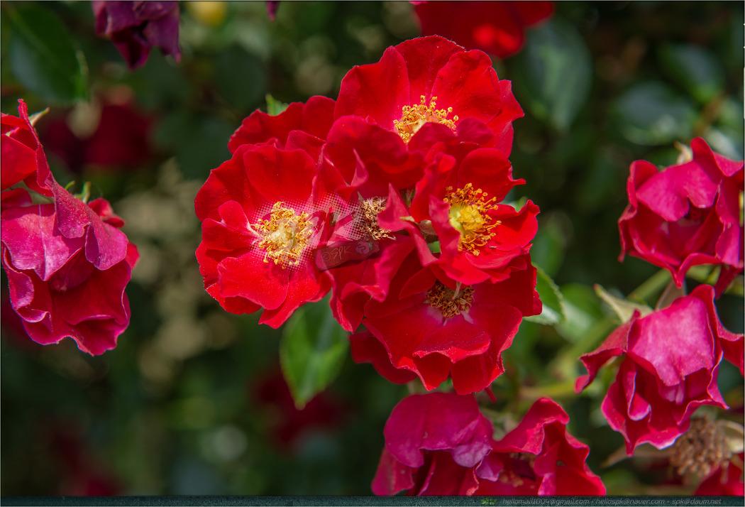 꽃 - 119 (치커리, 메꽃, 장미)