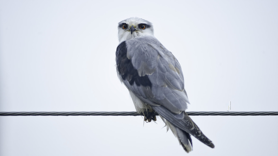 검은어깨매 Black-winged Kite