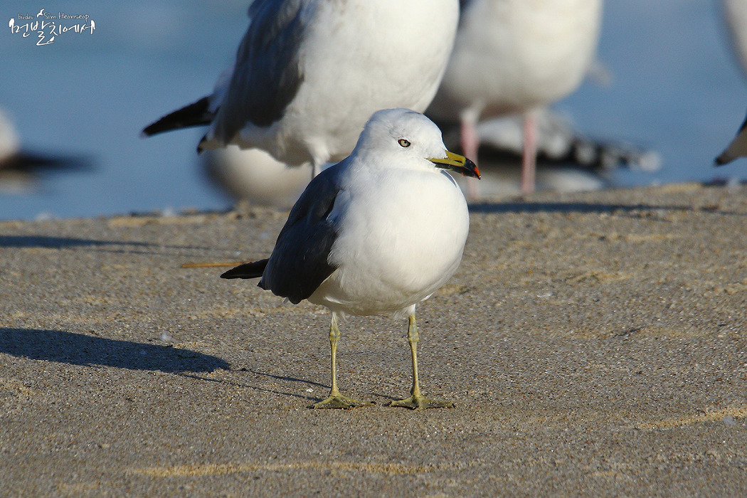괭이갈매기 /[Black-tailed Gull]