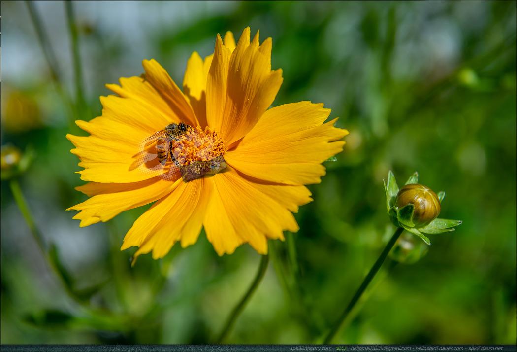 꽃 - 118 (노랑꽃창포, 싸리, 큰금계국, 카네이션)
