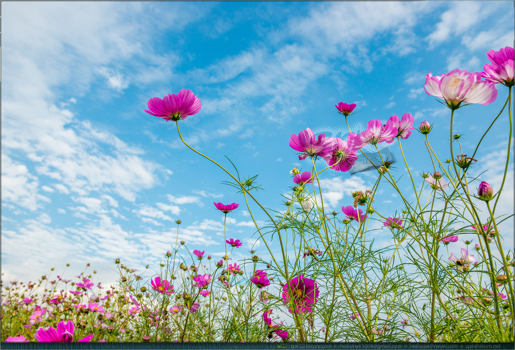 꽃 - 104 (코스모스)