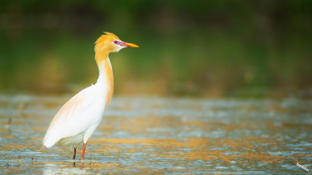 황로 Cattle egret